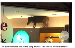 """Lợn rừng """"đại náo"""" trung tâm thương mại ở Hong Kong"""