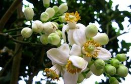Tháng 3 - Mùa hoa bưởi
