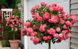 Hoa hồng Tree rose: Độc lạ và đắt đỏ