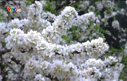 Vẻ đẹp hoa mận trên cao nguyên Mộc Châu