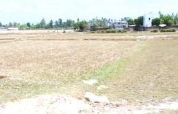 Bình Định: 12.000 ha lúa, hoa màu khô hạn nghiêm trọng