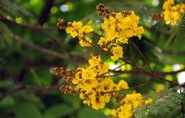Những màu hoa vàng dọc theo chiều dài đất nước