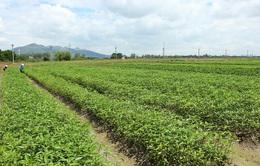 Nông dân thờ ơ, hợp tác xã nông nghiệp hoạt động cầm chừng