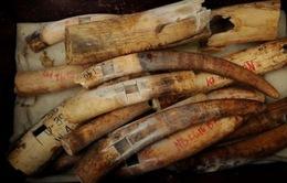 Dubai: Tiêu hủy hơn 10 tấn ngà voi buôn lậu trái phép