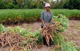 Tây Nguyên: Đất bị thoái hóa do trồng sắn