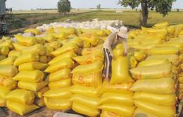 Thu mua tạm trữ 1 triệu tấn lúa gạo vụ Đông Xuân