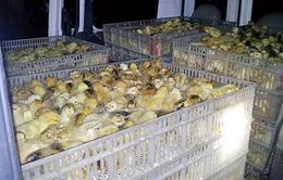 Hải Dương: Bắt gần 11.000 gà giống nhập lậu