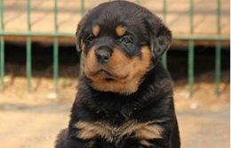 Trào lưu nuôi chó Rottweiler nở rộ