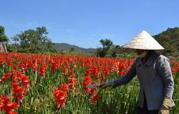 Hoa nở muộn sau Tết, giá giảm mạnh