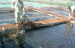 Tiềm năng lớn, thị trường cá nước lạnh vẫn bị bỏ ngỏ!
