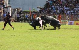 Hôm nay (21/9), chung kết Chọi trâu Đồ Sơn 2015