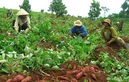 Vĩnh Long tìm thị trường ổn định cho khoai lang