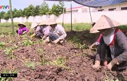 Vĩnh Long: Hơn 100 tấn khoai lang đã được tiêu thụ