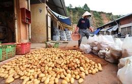 Đà Lạt huỷ lệnh cấm khoai tây Trung Quốc