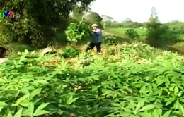Thu mua nông sản bất thường tái diễn: Cần hết sức cảnh giác
