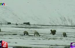 Peru: Tuyết rơi dày, lạc đà không bướu chết hàng loạt