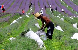 Đến Bulgaria trải nghiệm mùa thu hoạch hoa oải hương