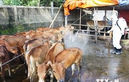Phú Yên: Khó khăn trong ngăn chặn dịch lở mồm long móng vùng giáp ranh
