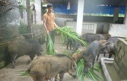 Trở thành tỷ phú nhờ mô hình liên kết sản xuất lợn rừng hữu cơ