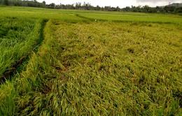 Hàng trăm ha lúa bị thiệt hại do mưa dông