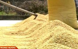 Thừa Thiên - Huế: Giá lúa giảm mạnh