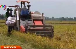 ĐBSCL: Tiêu thụ lúa gặp nhiều khó khăn