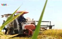 ĐBSCL: Giá lúa Đông Xuân tăng mạnh