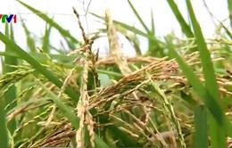 Thái Bình: Lúa mất mùa dù đã được phun thuốc trừ sâu