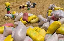 Đẩy nhanh tiến độ thu mua lúa gạo ở ĐBSCL