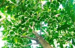 Người trồng mắc ca lo ngại thị trường tiêu thụ