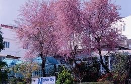 Đà Lạt: Rộn ràng sắc Mai Anh Đào mùa xuân