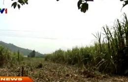 Quãng Ngãi: Vì sao diện tích trồng mía giảm?