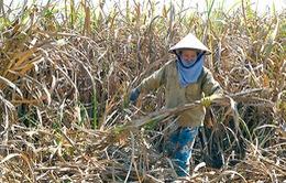 Phú Yên: Mía chết hàng loạt không rõ nguyên nhân