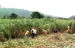 Bộ NN&PTNT bàn giải pháp tạm thời cho ngành mía đường