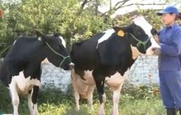 """""""Hoa hậu bò sữa"""" 2015 phải đáp ứng nhiều tiêu chí"""