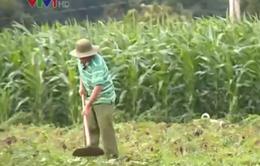 Nắng hạn, sản xuất vụ mùa ở Đăk Nông gặp khó khăn