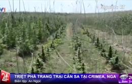Nga: Triệt phá trang trại cần sa rộng 2.000 m2 tại Crimea