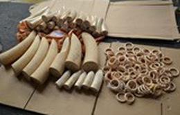 Vận chuyển trái phép 43,5kg ngà voi châu Phi