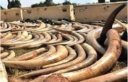 Thái Lan: Thu giữ hơn 3 tấn ngà voi nhập lậu từ Kenya