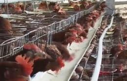 Chất lượng con giống - nút thắt của ngành chăn nuôi gia cầm
