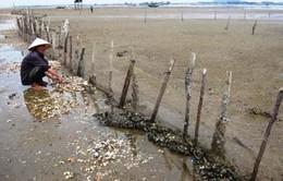 Người nuôi ngao ở Hà Tĩnh thiệt hại 8 tỷ đồng