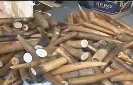Kiên Giang: Bắt giữ vụ vận chuyển gần 400 kg ngà voi