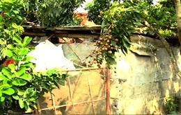 Người trồng nhãn lúng túng với quy chuẩn VietGAP