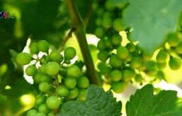 Ngành sản xuất và kinh doanh rượu vang bùng nổ tại Trung Quốc