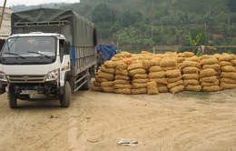 Hiệu quả từ mô hình bao tiêu nông sản cho người dân