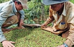 Tây Nguyên: Nông dân gặp khó vì nông sản rớt giá