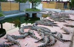 Cà Mau khuyến cáo không tự phát nuôi cá sấu