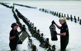 Kinh doanh nuôi hàu hồi sinh tại Crimea