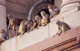 Ấn Độ: Khó phủ sóng wifi vì quá nhiều khỉ