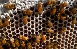 Tổ ong tự động thu hoạch mật